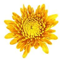Chrysanthemum (Ju Hua)