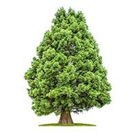 Redwood (Shui Shan)
