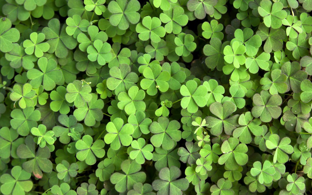 Red or White Clover?