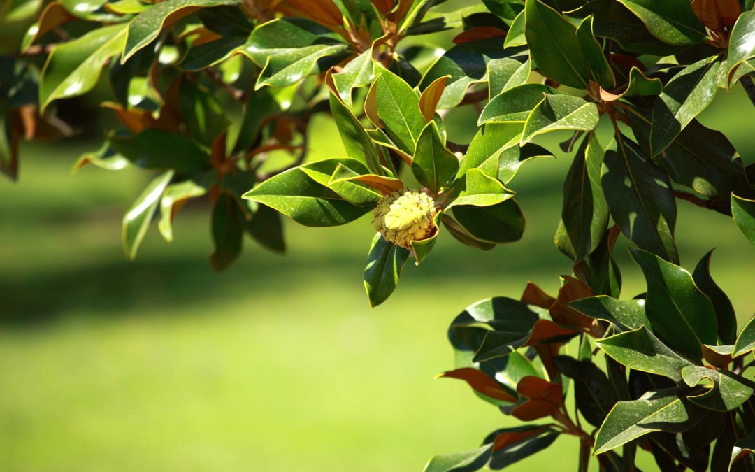 Magnolia Tree (Hou Po)