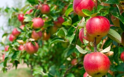 Did You Know Apples Strengthen the Intestines?