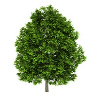 Ash Tree (Qin Pi)