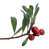 Bearberry / Uva Ursi (Xiong Guo)