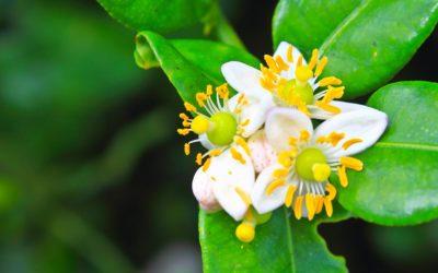 Bergamot Orange NOT Bergamot/Bee Balm