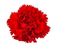 Carnation (Qu Mai)