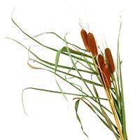 Cattail (Pu Huang)