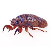 Cicada (Chan Tui)