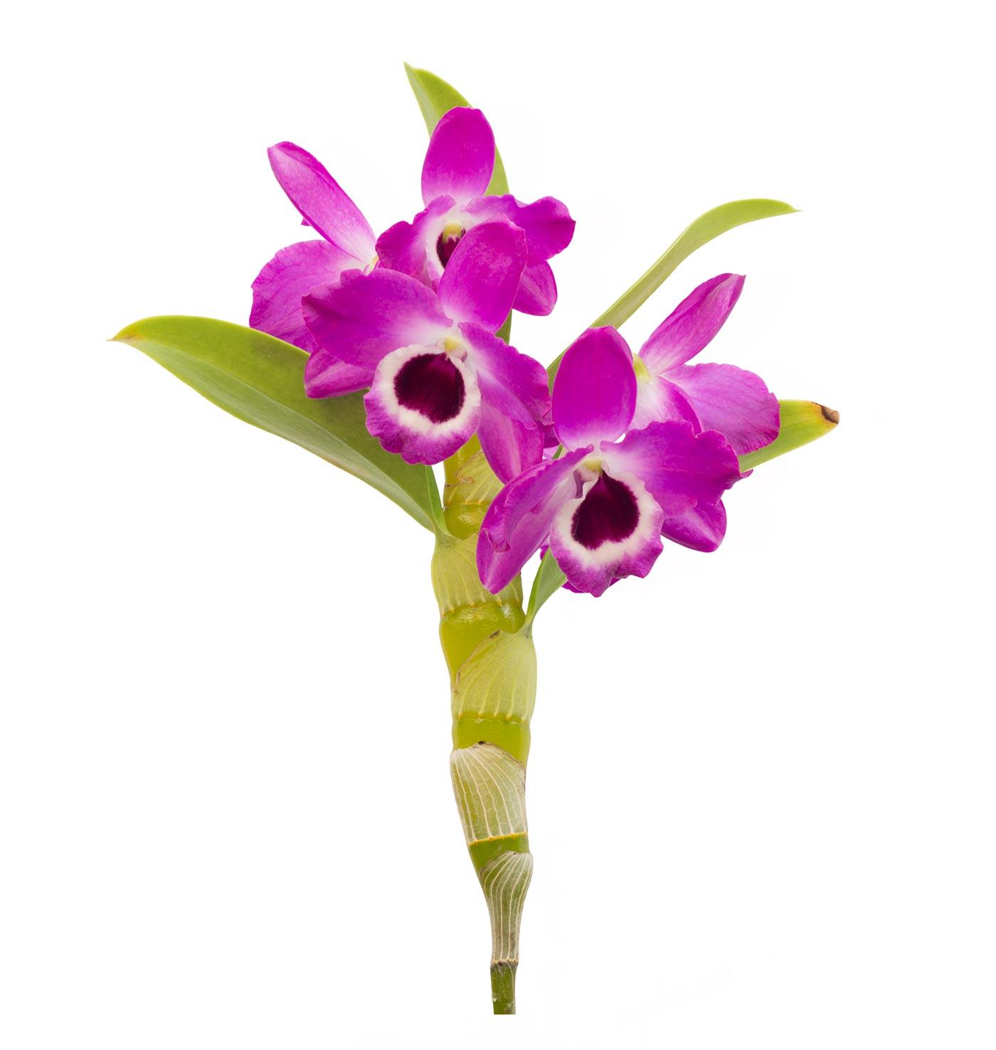 Dendrobium (Shi Hu)