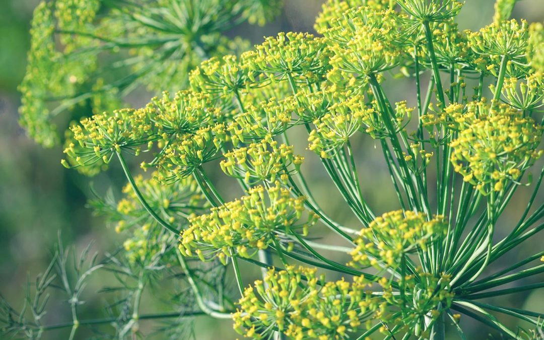 Powerful Digestive and Anticancer Herb