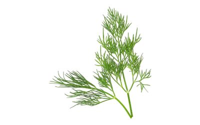 Dill (Shi Luo)