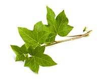 English Ivy (Chang Chun Teng)