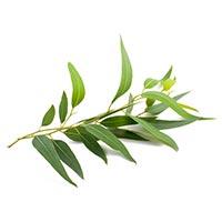 Eucalyptus (An Shu and An Ye)