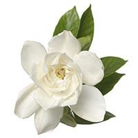 Gardenia (Zhi Zi)