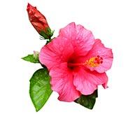 Hibiscus (Fu Rong)