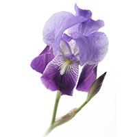 Iris (Hu Die Hua)