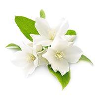 Jasmine (Luo Shi Teng)