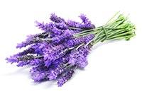 Lavender (Xun Yi Cao)
