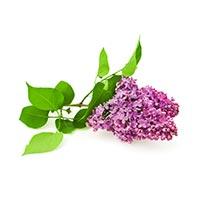 Lilac (Yuan Hua)