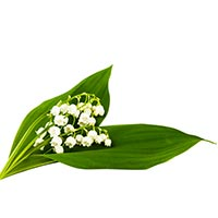 Lily of the Valley (Ling Lan)