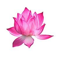 Chinese Water Lily (Lian Zi Xin, He Ye, Lian)