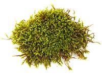 Moss (Tai)