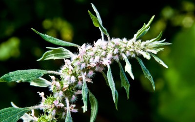 A Mothering Herb that also Supports Your Heart