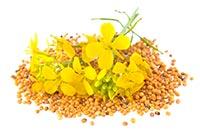 Mustard (Huang Jie Zi/Bai Jie Ze)