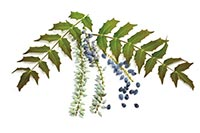 Oregon Grape Root/Mountain Grape (Eleigang Putao)