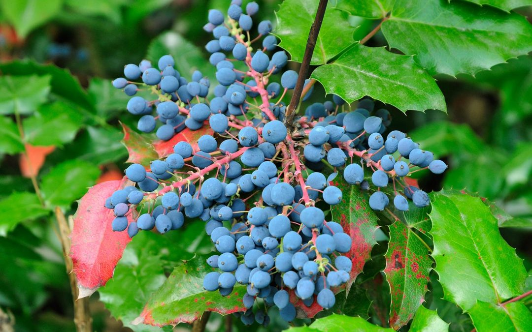 Not Really a Grape…