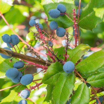 Oregon Grape Root/Mountain Grape (Eleigang Putao)