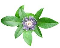 Passion Flower (Ji Qing Hua)