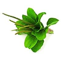Plantain (Che Qian Zi)