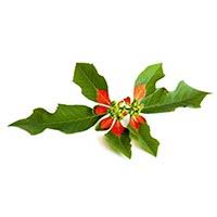 Poinsettia (Da Ji)