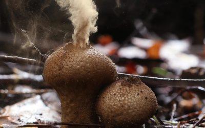 Giant Puffballs