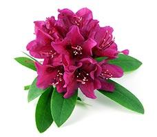 Rhododendron (Man Shan Hong)