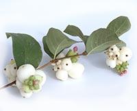 Snowberry (Xue Rui)