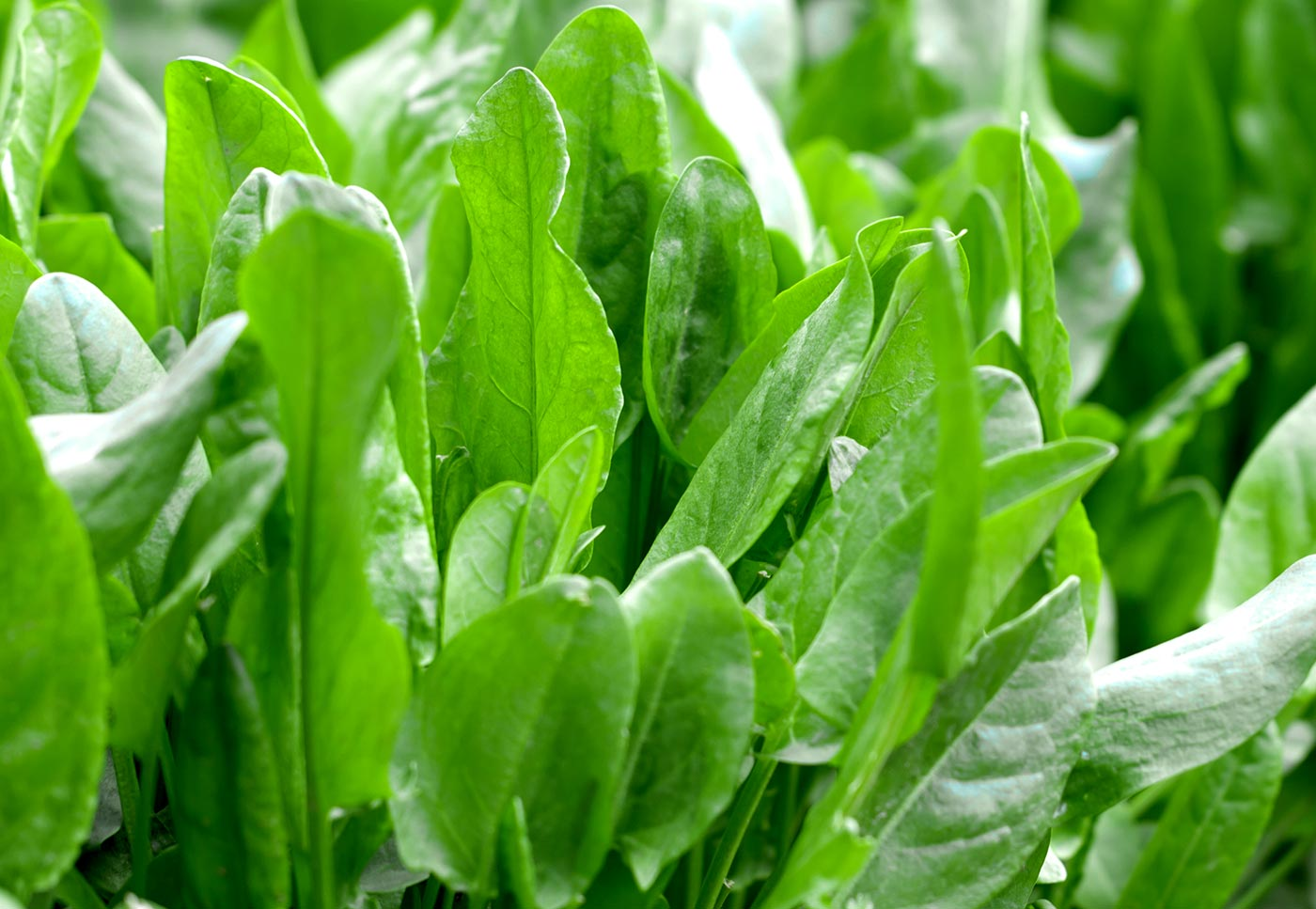 Garden Sorrel (Cu Jiang Cao) | White Rabbit Institute of ... Garden Sorrel