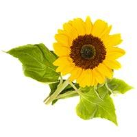 Sunflower (Xiang Ri Kui)