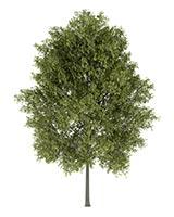 White Poplar (Bai Yang Zhi)
