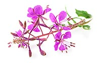 Willowherb (Za Cao)